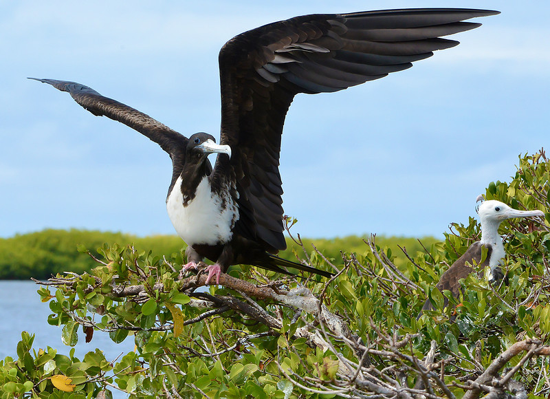 Magnificent frigatebird (adult female), Barbuda, by Ted Lee Eubanks.