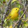 Yellow warbler, Antigua, by Ted Lee Eubanks.