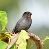 Lesser Antillean bullfinch, Antigua,  by Ted Lee Eubanks.
