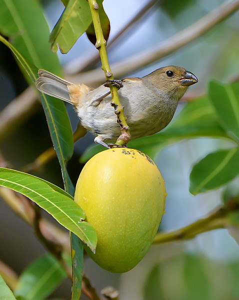 Lesser Antillean bullfinch (female) with mango, Christian Valley, Antigua, by Ted Lee Eubanks.