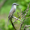 Gray kingbird, Antigua, by Ted Lee Eubanks.