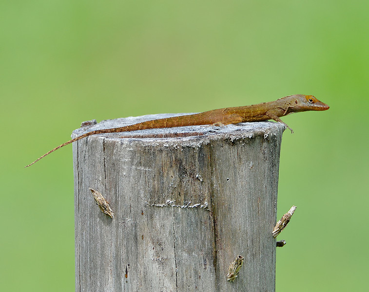Anolis watti, Antigua, by Ted Lee Eubanks.