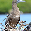Brown booby, Barbuda, by Ted Lee Eubanks