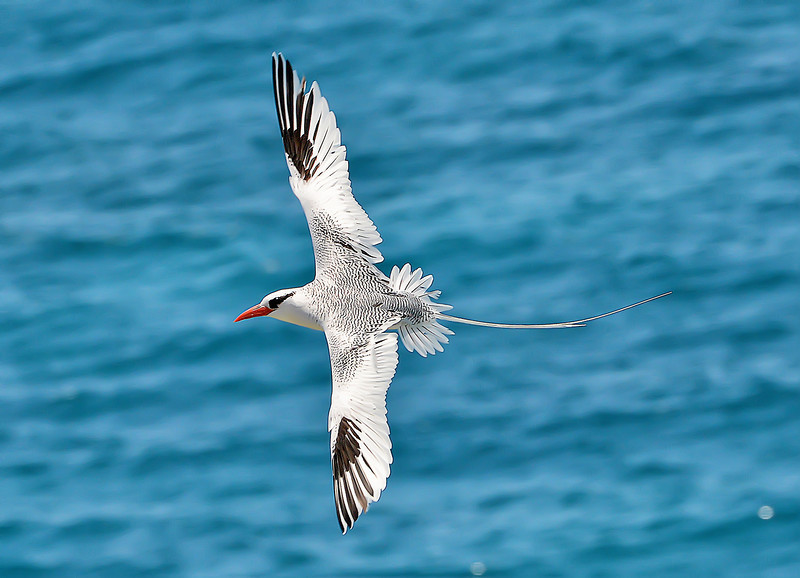 White-tailed tropicbird, Great Bird Island, Antigua, by Ted Lee Eubanks.