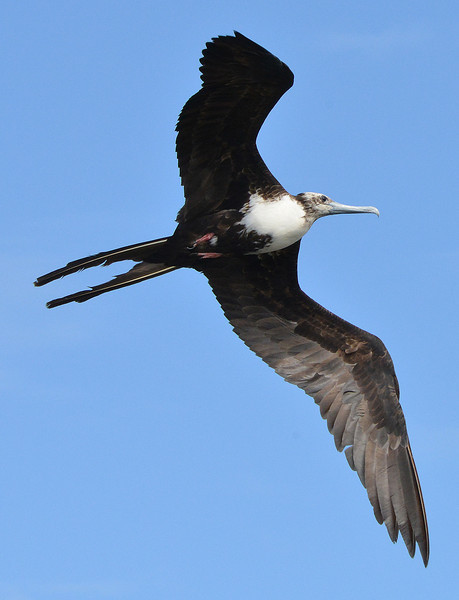 Magnificent frigatebird (young female), Barbuda, by Ted Lee Eubanks.