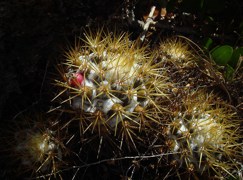 Mammillaria cactus, Barbuda, by Ted Lee Eubanks.