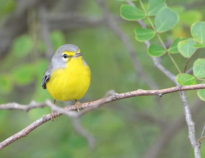 Barbuda warbler (Setophaga subita)