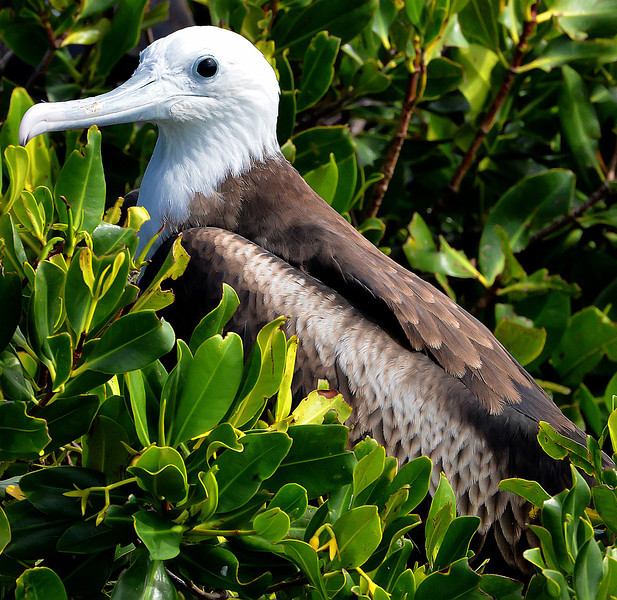 Magnificent frigatebird (yearling), Barbuda, by Ted Lee Eubanks.