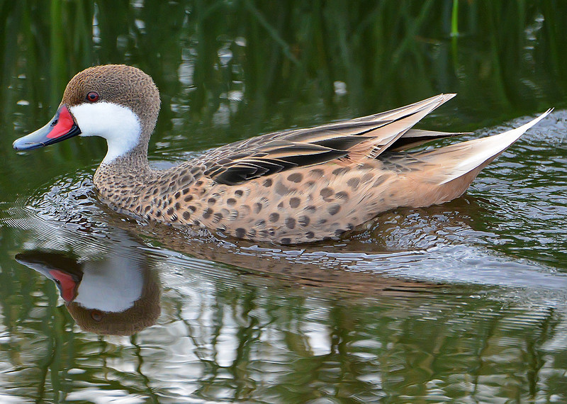 White-cheeked pintail, Antigua, by Ted Lee Eubanks.