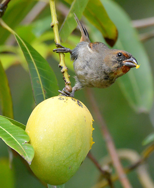 Lesser Antillean bullfinch (female) eating a mango, Christian Valley, Antigua, 2013