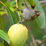 Lesser Antillean bullfinch (female) eating a mango, Christian Valley, Antigua, 2013