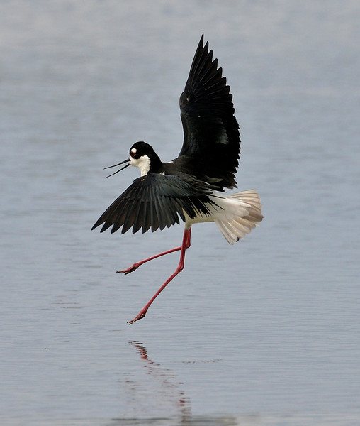 Black-necked stilt, Darkwood, Antigua, 2013