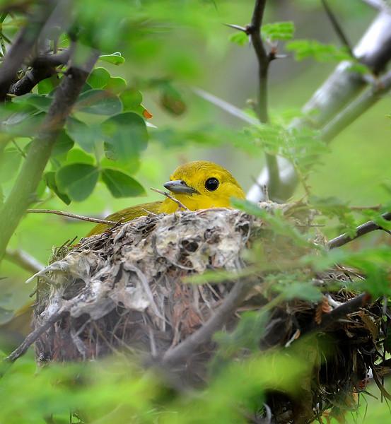 Yellow warbler (Setophaga petechia)