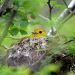 Yellow warbler on nest, Barbuda, 2013