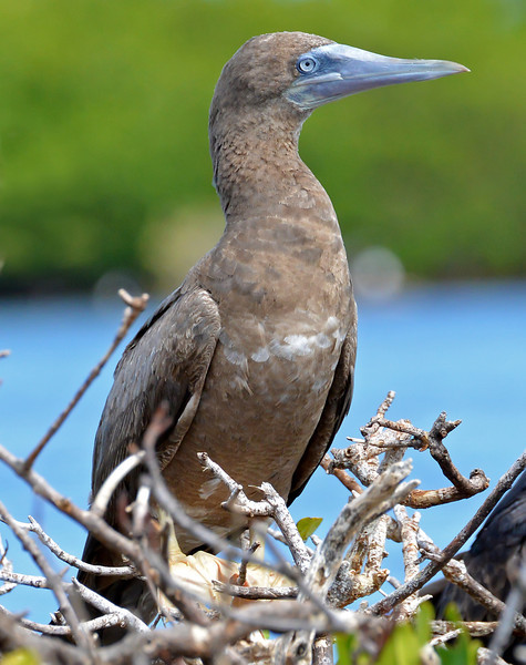 Brown booby, Codrington Lagoon, Barbuda, 2013