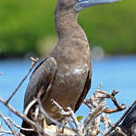Brown booby, Codrington Lagoon, Barbuda, 2013