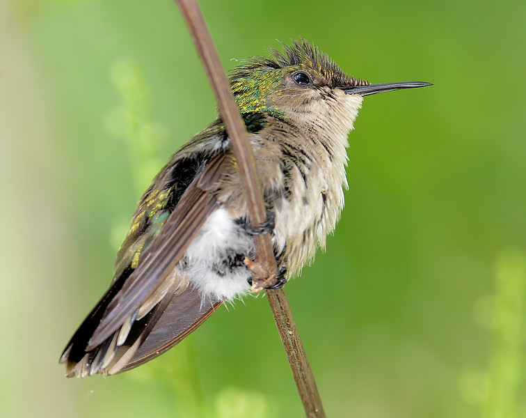 Antillean crested hummingbird (female), Antigua, 2013