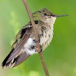 Antillean crested hummingbird (female), Antigua, 2013