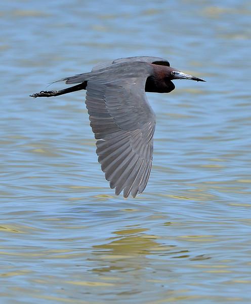 Little blue heron, Antigua, 2013