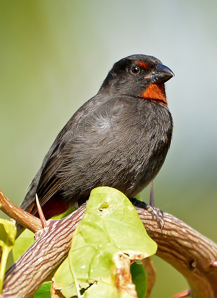 Lesser Antillean bullfinch, Antigua, 2013