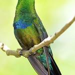 Green-throated carib, Antigua, 2013