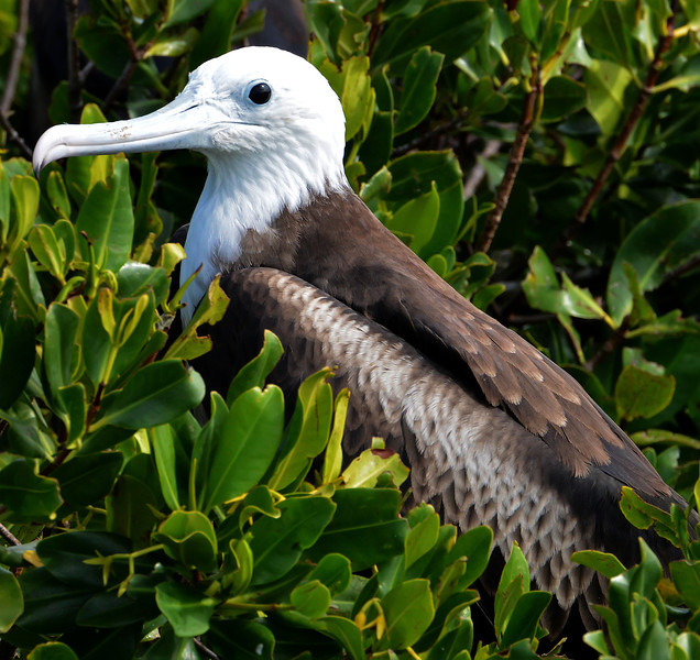 Magnificent frigatebird (2nd year), Codrington Lagoon, Barbuda, 2013