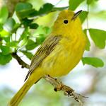 Yellow warbler (female), Antigua, 2013
