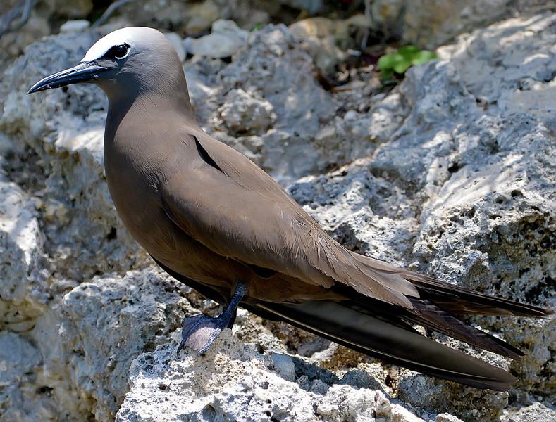 Brown noddy, Antigua, 2013