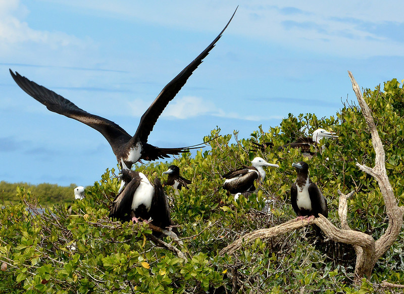 Magnificent frigatebirds, Codrington Lagoon, Barbuda, 2013