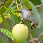 Lesser Antillean bullfinch (female) on a mango, Antigua, 2013