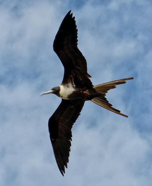 Magnificent frigatebird (adult female), Codrington Lagoon, Barbuda, 2013