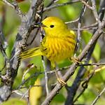 Yellow warbler, Antigua, 2013