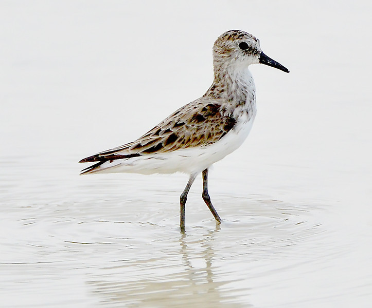 Semipalmated sandpiper, Antigua, 2013
