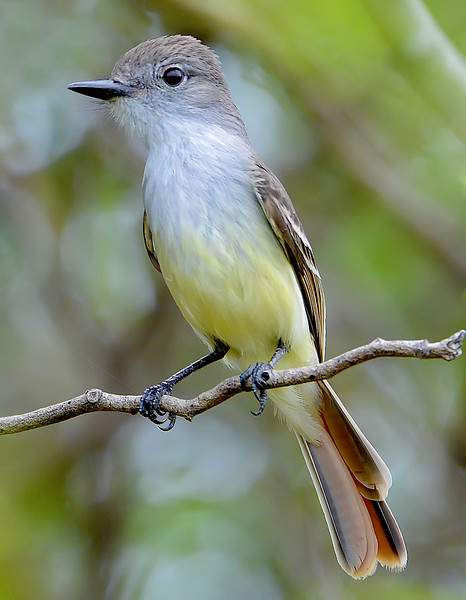 Lesser Antillean flycatcher, Barbuda, 2013