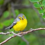 Barbuda warbler, Barbuda, 2013