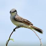 Gray kingbird, Antigua, 2013