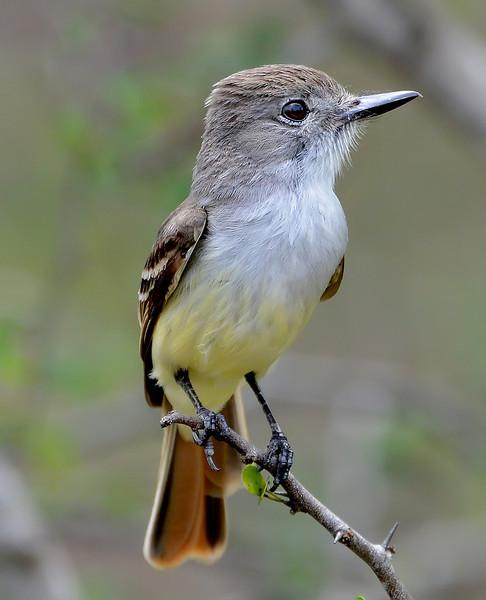 Lesser Antillean flycatcher, Barbuda, 2013
