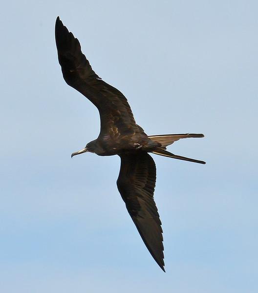 Magnificent frigatebird (adult male), Codrington Lagoon, Barbuda, 2013