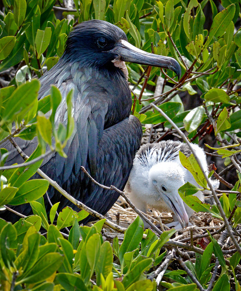 Magnificent frigatebird (adult male with chick), Codrington Lagoon, Barbuda, 2013
