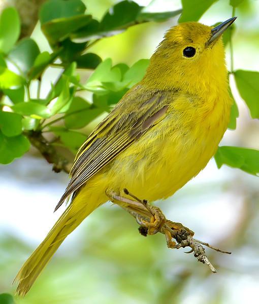 Yellow warbler, Barbuda, 2013