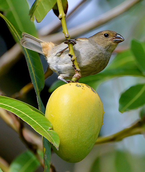 Lesser Antillean bullfinch (female) on a mango, Antigua, 2013