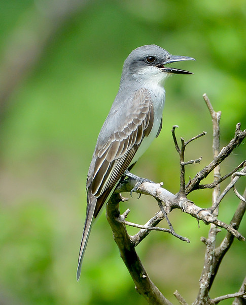 Gray kingbird, Antigua, 2013