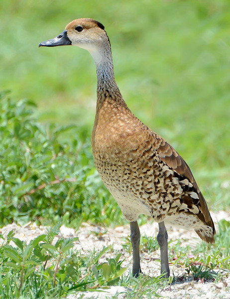 West Indian whistling-duck, McKinnons Pond, Antigua, 2013