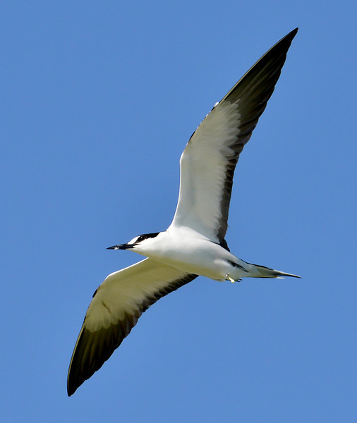 Sooty tern, Great Bird Island, Antigua, 2013
