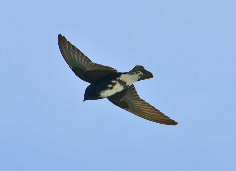 Caribbean martin (male), Great Bird Island, Antigua, 2013