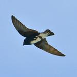 Caribbean martin (male), Great Bird Island, Antigua, 2013