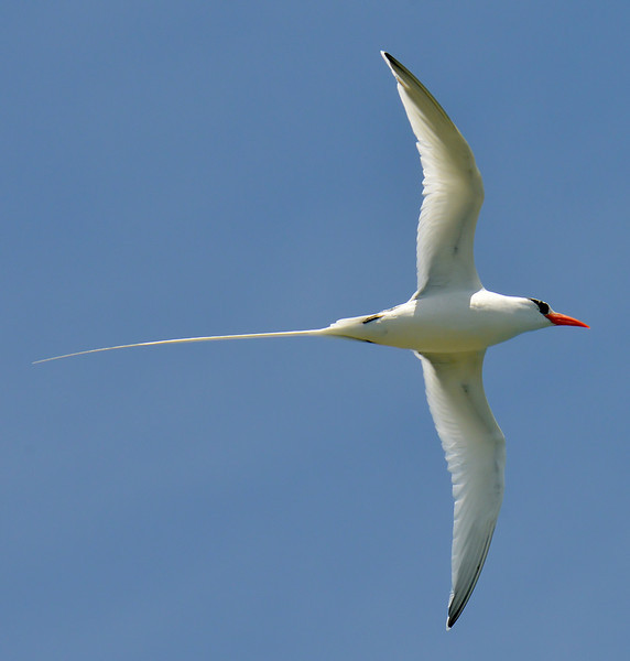 Red-billed tropicbird, Great Bird Island, Antigua, 2013