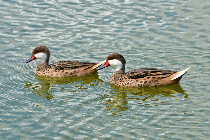 White-cheeked pintail, McKinnons Pond, Antigua, 2013