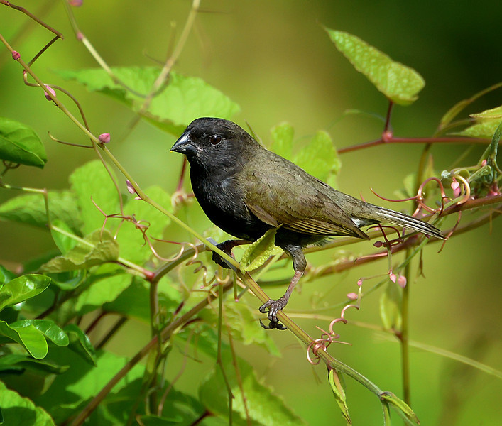 Black-faced grassquit (male), Antigua, 2013