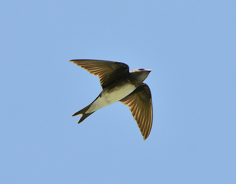 Caribbean martin (female), Great Bird Island, Antigua, 2013